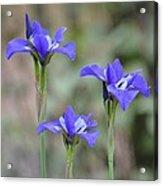 Three Blue Iris Acrylic Print