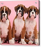 Three Boxer Puppies Acrylic Print
