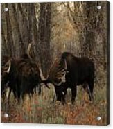 Three Bull Moose Sparring Acrylic Print