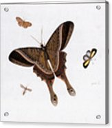 Three Butterflies And A Gnat Acrylic Print