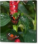 Three Butterflies Acrylic Print