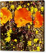Three California Poppies Among Goldfields In Antelope Valley California Poppy Reserve Acrylic Print