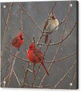 Three Cardinals Acrylic Print