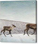 Three Caribous Acrylic Print