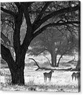 Three Cheetahs Acrylic Print