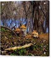 Three Cute Kit Foxes At Attention Acrylic Print