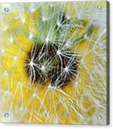 Three Dandelions In A Line Acrylic Print