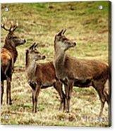 Wildlife Three Red Deer Acrylic Print