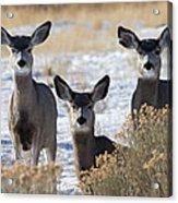 Three Deer Acrylic Print