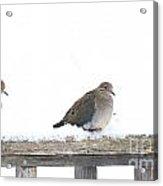 Three Doves On A Railing Acrylic Print
