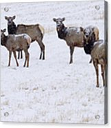Three Elk Cows And Calf Acrylic Print