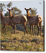 Three Elk Acrylic Print