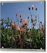 three flowered avens - Geum triflorum - 12MA30-1 Acrylic Print