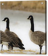 Three Geese Abstract Acrylic Print by Dave Dilli