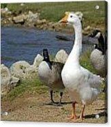 Three Geese Just Srolling Along Acrylic Print