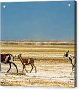 Three Goats In A Desert Acrylic Print