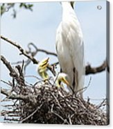 Three Great Egret Chicks In Nest Acrylic Print by Carol Groenen