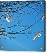 Three Gulls Acrylic Print