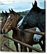 Three Horses Waiting For Carrots Acrylic Print