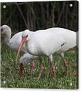 Three Ibis Together Acrylic Print