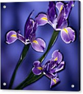 Three Iris Xiphium Acrylic Print