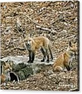 Three Kits Acrylic Print