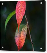 Three Leaves Of Fall Acrylic Print