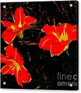 Three Lilies Acrylic Print