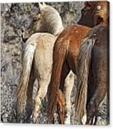 Three Long Tails Acrylic Print