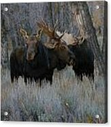 Three Moose In The Woods Acrylic Print