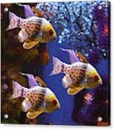 Three Pajama Cardinal Fish Acrylic Print