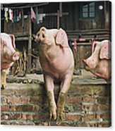 Three Pigs Having A Chat In A Remote Acrylic Print