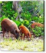 Three Pigs Acrylic Print