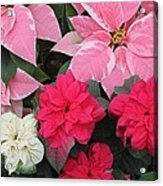 Three Pink Poinsettias Acrylic Print