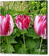 Three Pink Rembrandt Tulips Acrylic Print