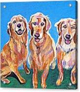 Three Playful Goldens Acrylic Print
