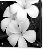 Three Plumeria Flowers In Black And White Acrylic Print
