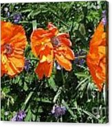Three Poppies Acrylic Print by Claudette Bujold-Poirier