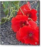 Three Poppies Too Acrylic Print