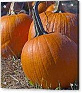 Three Pumpkins Acrylic Print