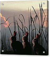 Three Rabbits In The Setting Sun Acrylic Print