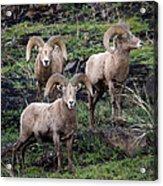 Three Rams Acrylic Print