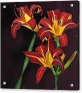 Three Red Daylilies Acrylic Print