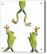 Three Red Eyed Tree Frogs Climbing Acrylic Print