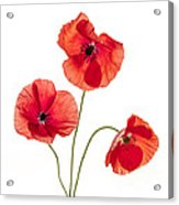 Three Red Poppies Acrylic Print