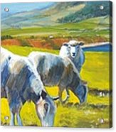 Three Sheep On A Devon Cliff Top Acrylic Print
