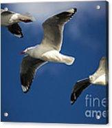 Three Silver Gulls In Flight Acrylic Print by Avalon Fine Art Photography