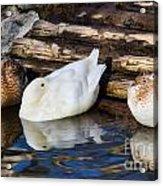 Three Sleeping Ducks Acrylic Print