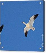 Three Snow Geese Acrylic Print
