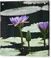 Three Stages Of Blue Bloom Acrylic Print